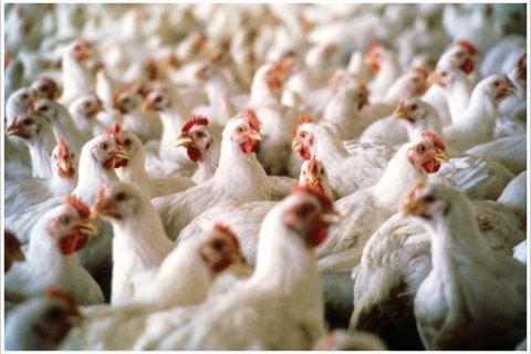 На Кременчугской птицефабрике из-за остановки вентиляции погибли 600 тыс. кур