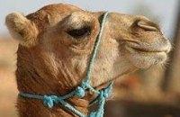 Украинские пограничники задержали грузовик с 20-тью верблюдами
