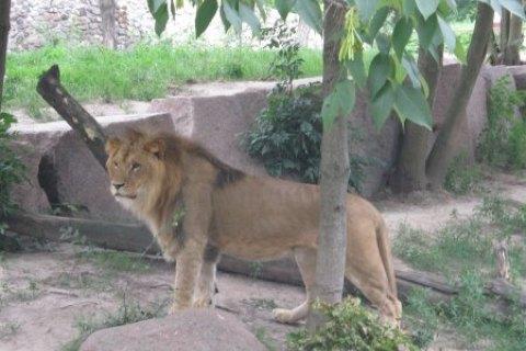 У Львівській області лев покусав двох п'яних чоловіків