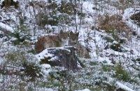 В Карпатах фотограф встретил редкую краснокнижную рысь
