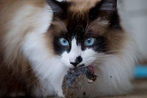 Кандидат у мери Рима пообіцяв привезти в місто півмільйона кішок