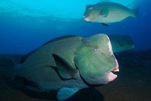 Биологи нашли бьющихся головами рыб