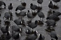 У Держпродспоживслужбі назвали причину загибелі близько 5 тис. диких птахів