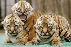 В Харьковском зоопарке пополнение - трое тигрят