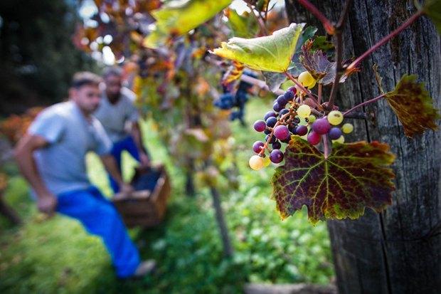 Збір урожаю винограду на виноградниках у м.Помпеї на півдні Італії, 25 жовтня 2017.