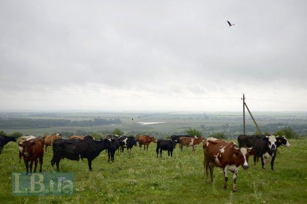 Надзвичайні краєвиди – смарагдові скатертини полів; пасуться корови, поміж кущів виринає фіолетова хустка пастушки.