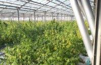 На Прикарпатье в теплицах вырастили марихуаны на 50 млн евро