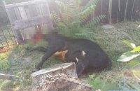 Оскаженілий бик затоптав насмерть двох жителів Авдіївки