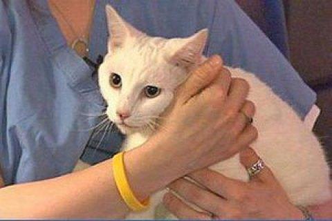 У Бельгії кішка заразилася коронавірусом від господаря