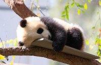 Пятничная панда #72