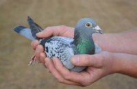 Скоростной почтовый голубь продан на аукционе за рекордные 1,6 миллиона евро