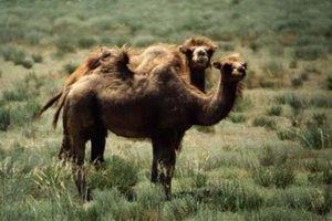 В Казахстане шофер-наркоман задавил 15 верблюдов