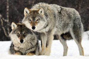 Армения выделила 50 тысяч долларов на отстрел волков