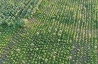 На Херсонщине обнаружили рекордный посев конопли на более 300 млн гривен