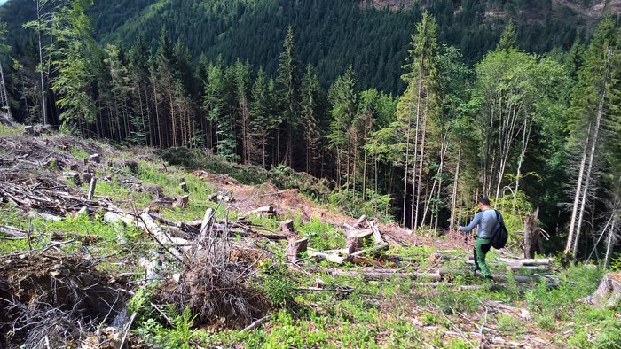 Ділянка з нелегально зрубаним лісом поблизу Усть-Чорної на території Мокрянського лісгоспу