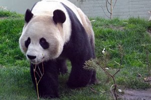Свидания панд из эдинбургского зоопарка оказались безрезультатными