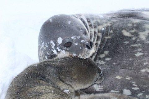 """На станции """"Академик Вернадский"""" в Антарктиде родился тюлень"""