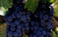 В Крыму прогнозируют хороший урожай винограда