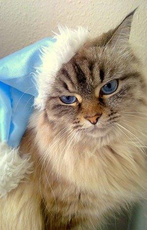 Фото кошки читательницы Марии Дергачевой.<<Это моя кошка красотка по имени Нора. Самая красивая и грациозная кошечка в мире :) >>
