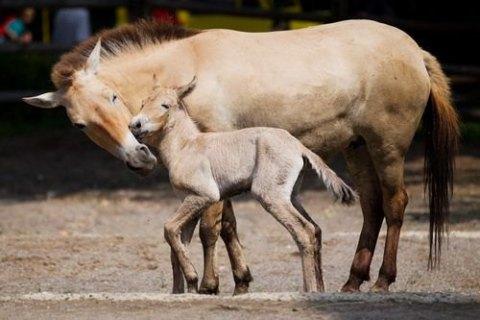 В Техасе впервые клонировали лошадь Пржевальского