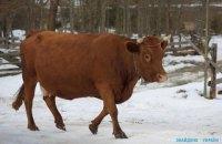 В Сумской области перевернулся грузовик с коровами