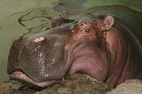 """World's oldest"" hippo dies in Kyiv zoo"