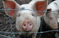 New outbreaks of African swine fever registered in five regions