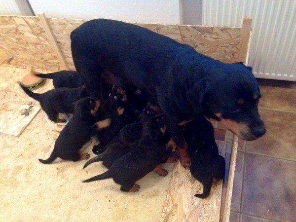 Ротвейлер Иджи родила 11 щенков