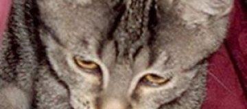 Жена британского депутата украла котенка у любовницы мужа