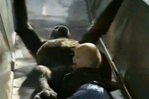 В зоопарке гориллы нежно играли с маленьким ребенком