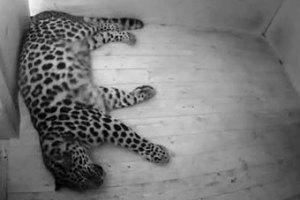 Леопард из таллинского зоопарка родит в прямом эфире