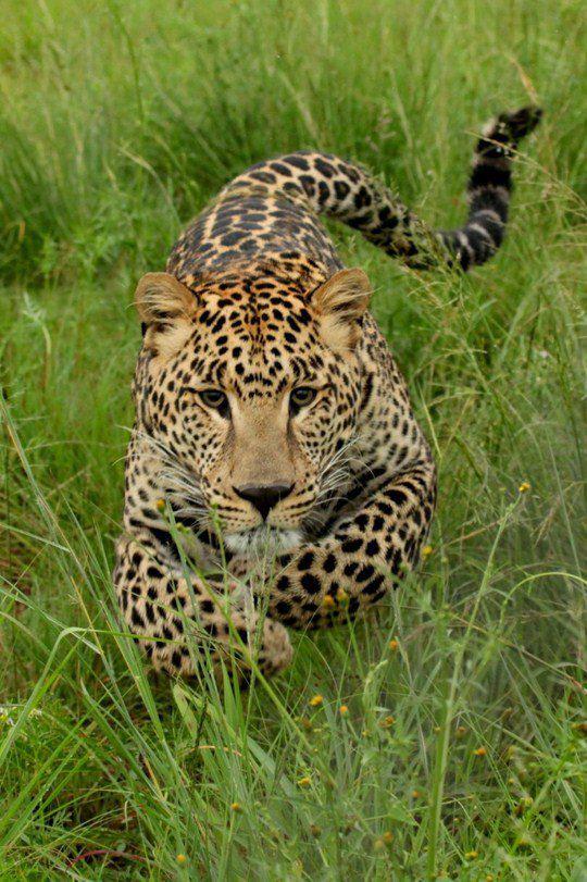 Пользователь Leo za1, «Молодой леопард»