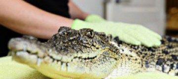 Самка крокодила посетила австралийский салон красоты