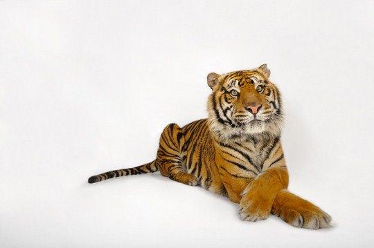 Суматранский тигр (Varecia variegata rubra)