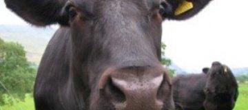 Английские коровы оставили без связи тысячи абонентов