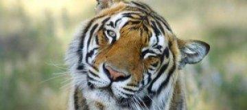 Неделя больших кошек на National Geographic