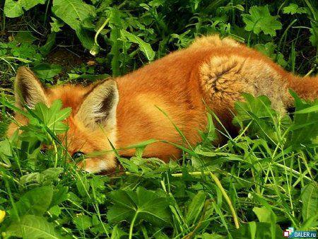 Из зверинца сбежала лисица...