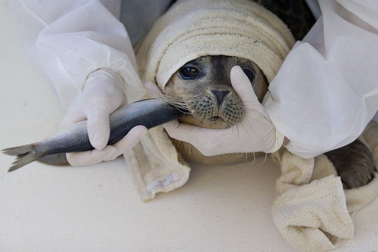 """Волонтер кормит сельдью морского котика в приюте """"Pieterburen"""" к северу от города Гронинген, Нидерланды, 12 января 2012 года"""