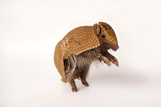 Шаровидный броненосец (Tolypeutes matacus)