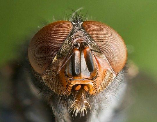 Дж. Харрисон, «Мясная живородящая муха»