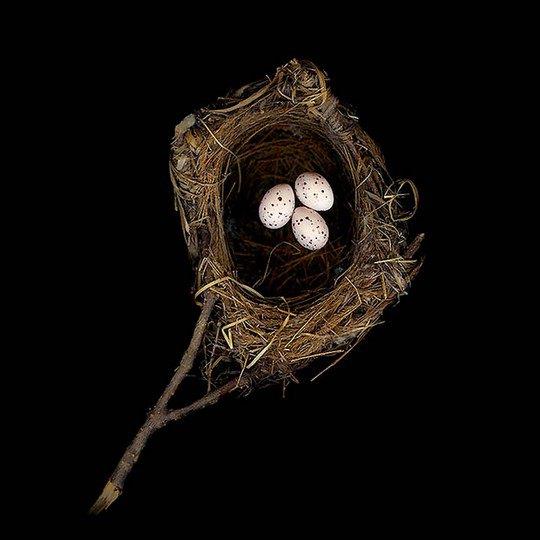 Гнездо китайской черноголовой иволги