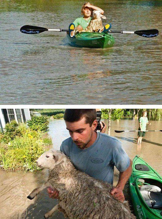 Спасение овцы с фермы в Вермонте после наводнения от ураган Ирэн