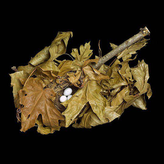 Гнездо соснового чижа