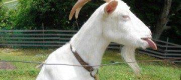 """Похищенному из зоопарка козлу сделали """"педикюр"""""""
