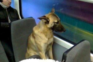 В России загадочный пес каждый день ездит в университет на трамвае