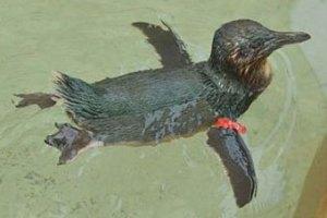 Из австралийского парка выкрали пингвина
