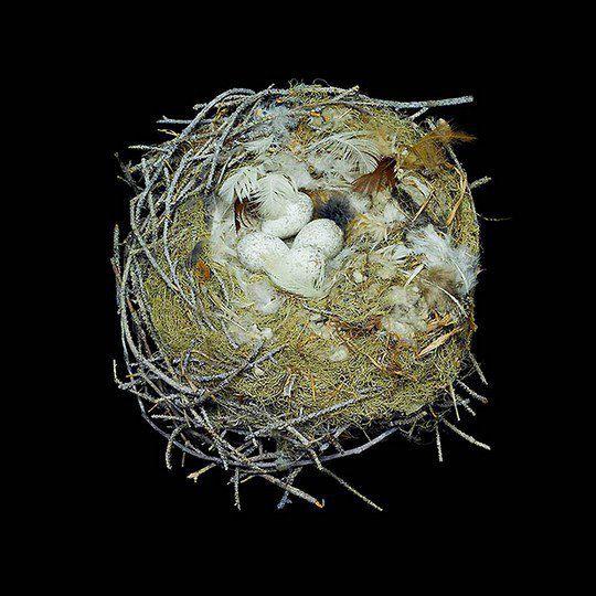 Гнездо канадской кукши