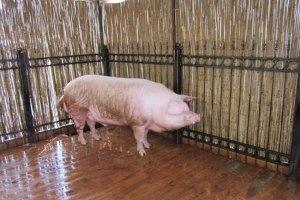Хряк из киевской фан-зоны похудел на 12 кг