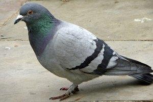 """Украинский чиновник предложил """"депортировать"""" голубей"""
