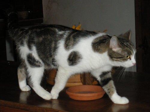 Кошка Бриджит Бардо Ронтонтон